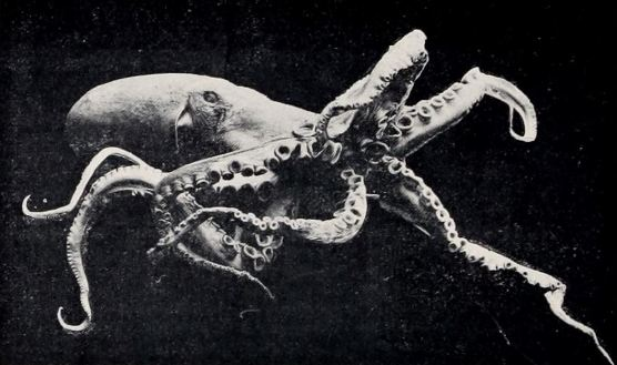 The Octopus (1903), filmed by Francis Martin Duncan for Urban's series The Unseen World