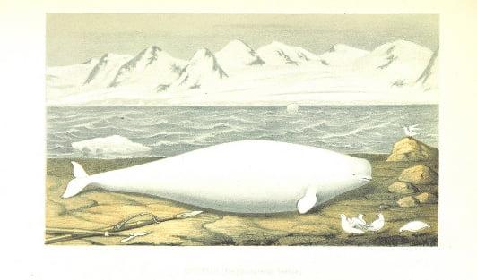 Svenska Expeditioner till Spetsbergen och Jan Mayen utförda under åren 1863 och 1864 af N. Dunér, A. J. Malmgren, A. E. Nordenskiöld och A. Qvennerstedt (1867)